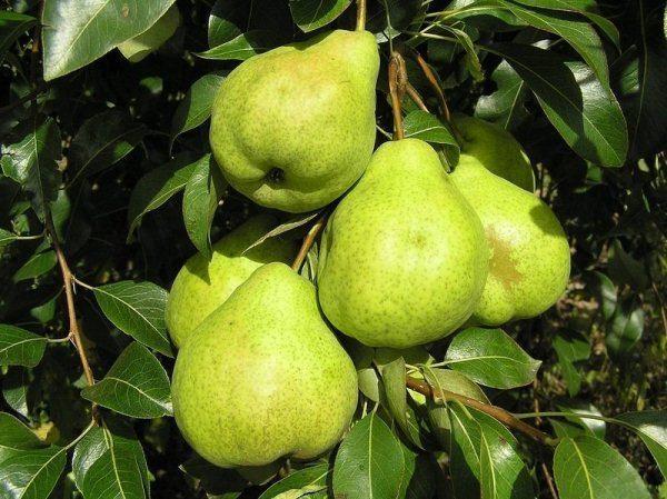 Pear Augustus Dew
