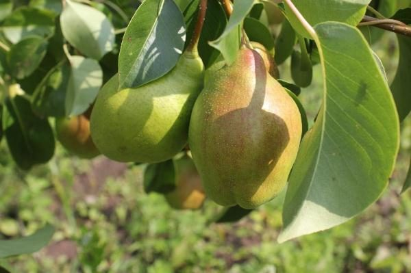 Pear Miracle