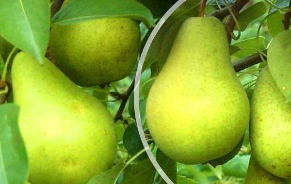 Fructe de soiul Pervomayskaya pot fi salvate până la 8 luni