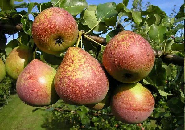 Marmură Pear Fruit