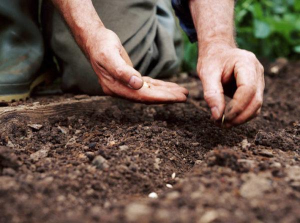 Pregătirea semințelor pentru însămânțare