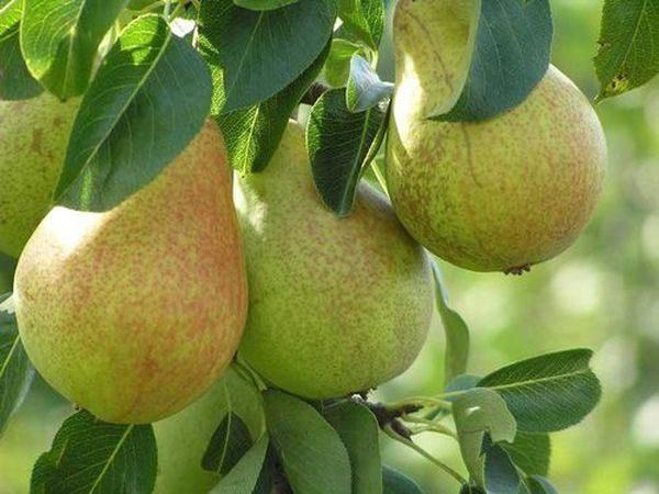 Gradul Hera este renumit pentru fructele mari