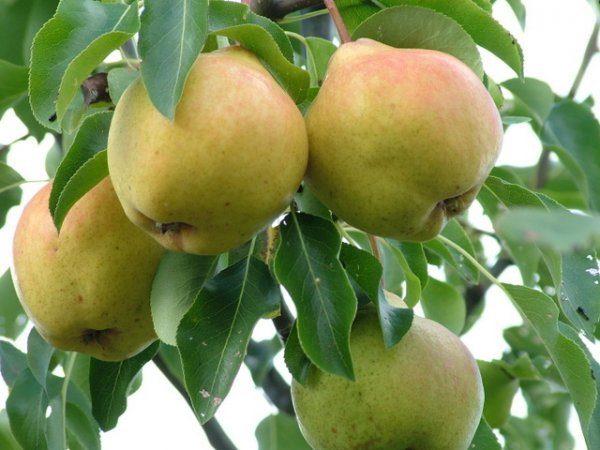 Ramură de pere Moskvichka cu fructe