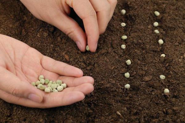 Cum să planteze mazărea pe teren deschis