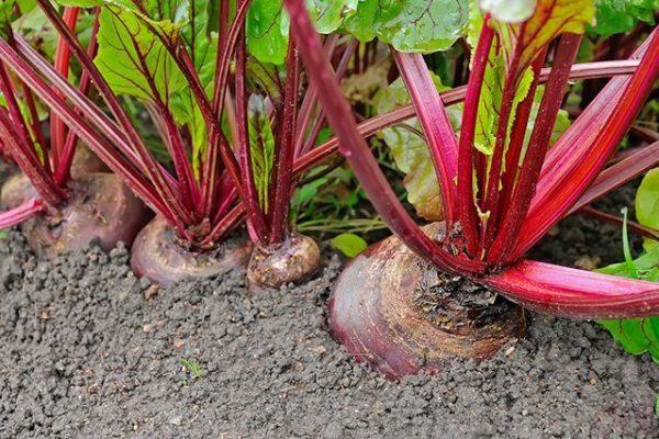 Nu este recomandabil să plantezi morcovi după sfecla