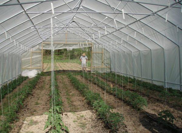 Termeni pentru plantarea tomatelor