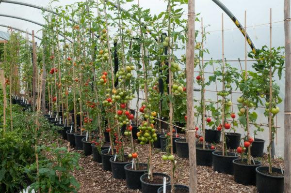Tomate, formate într-o singură tulpină