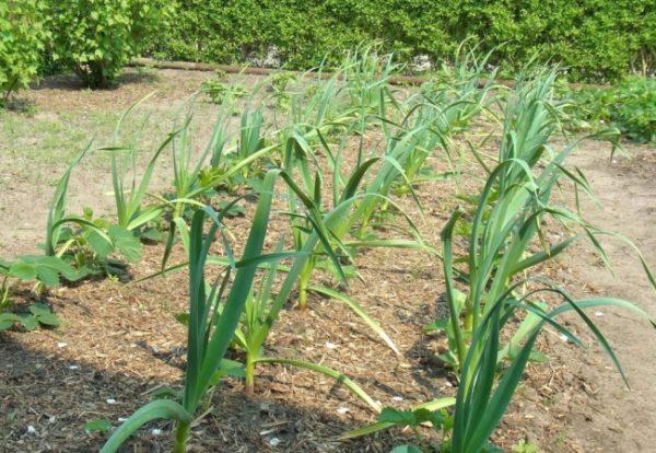 După usturoi, castraveții sunt plantați anul viitor